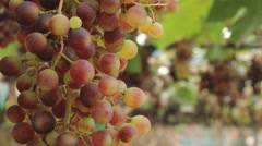 View to the grape plantation at Doi Mon Jam Royal Agricultural Station. Stock Footage