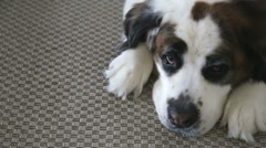Saint Bernard dog resting on rug at home, video Stock Footage