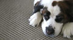 Saint Bernard dog resting on rug, video Stock Footage