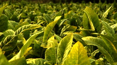 A Tobacco Field in Rural Tennessee Stock Footage