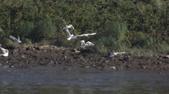 Gulls at the Elbe river in Dresden - Slow Motion Stock Footage
