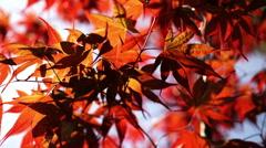 Backlit japanese maple leaves. Stock Footage