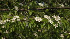 Adorable pear twig with white blossom trusses on tree background. Stock Footage