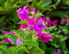 Close up Bougainvillea flower Stock Photos