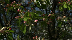 Apple tree branch close up with pink blossom, slack waving on spring wind. Stock Footage
