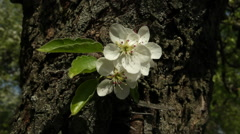 Small pear sprig with blossom truss, shaking on tree trunk with rough bark. Stock Footage