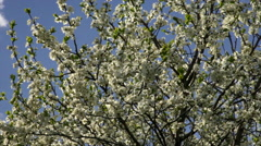 Adorable sunlit cherry branches, waving on blue sky background Stock Footage