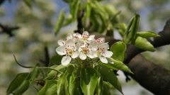 Adorable pear blossom truss and new green leaves, shaking in spring wind. Stock Footage