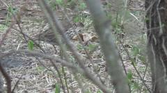 Mavis, woodpecker Stock Footage