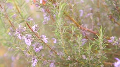 Rosemary plant in flower Stock Footage
