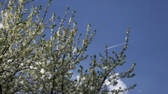 Cherry branches with white blossom, waving on blue sky background with plane. Stock Footage
