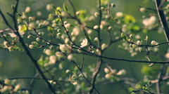 Cherry twig with pink blossom buds in sunset light on blur green background. Stock Footage