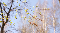 Birch branches in the wind Stock Footage