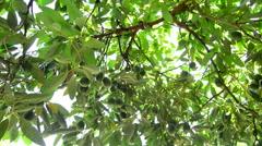 Avocado tree laden with fruit Stock Footage