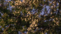 Cherry branch in sunset light with white blossom waving on dark blue background. Stock Footage