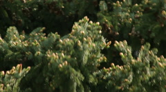 Sunlit fir branches with amazing fresh opened buttons, waving on spring wind Stock Footage