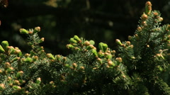 Adorable fir branch with fresh opened buttons Stock Footage