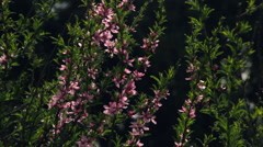 Adorable sunlit almond twigs with pink blossoms and new tiny green leaves Stock Footage