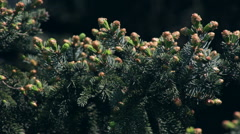 Adorable fir branch with amazing fresh opened buttons on dark background. Stock Footage