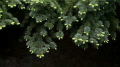 Adorable fir branch with amazing young green needle Stock Footage