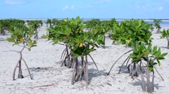 Young mangroves exposed at low tide in shallow tropical bay Stock Footage