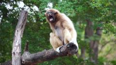 HD Gibbon yawning on tree branch - stock footage