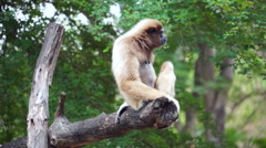 Gibbon yawning on tree - Stock video Stock Footage
