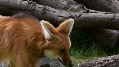 Maned Wolf, South American Wild Dog, Wolf, Aguará Guazú Stock Footage