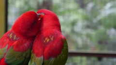 Birds in Love: Pair of Cute Parrots Kissing Closeup Stock Footage