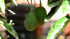 Avocado fruit hanging at branch of tree in a plantation in harvest - stock footage
