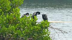 Great Cormorants on tree spreading wings Stock Footage