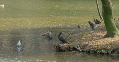 Daws daw jackdaw jackdaws cormorant gannet pelican bird seagulls birds sea gulls Stock Footage