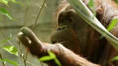 Orangutan, Orangutang, Primate, Tree, Eat Stock Footage