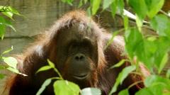 Orangutan, Orangutang, Primate, Tree - stock footage