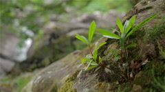 Green Leafy Plant Grows on Rock Stock Footage