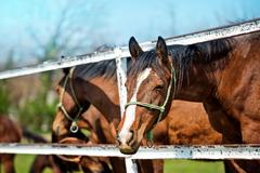 Beautiful Brown Chestnut Horses on the Animal Farm Stock Photos
