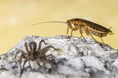 The German cockroach and Ground wolf-spider Stock Photos