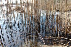 Detail of reeds on shoreline. - stock photo
