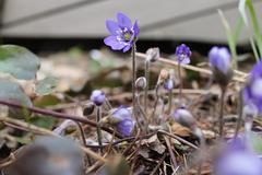 Blue flower. Anemone hepatica Kuvituskuvat