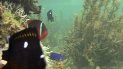 Fire Clown Fish 02 Stock Footage
