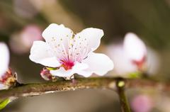 Beautiful pink flower cherry in full bloom on colored background - stock photo