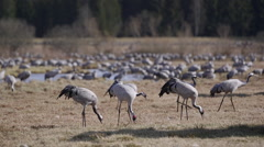 Crane birds feed on ground shallow depth of field swan flying background Stock Footage