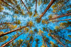 Looking Up In Spring Pine Forest Tree To Canopy - stock photo