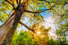 Spring Sun Shining Through Canopy Of Tall Oak Trees. Upper Branches Of Tree.  - stock photo