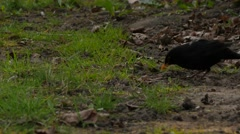 Blackbird eating warm on a meadow, Evening , Spring time. - stock footage