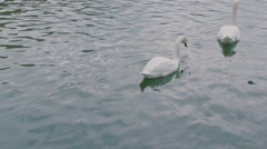 Swans in german river Stock Footage