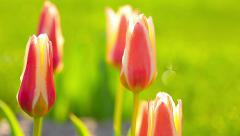 Tulips in the garden on a background of dawn Stock Footage