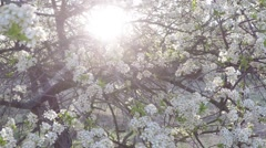 Blooming blackthorn in backlight Stock Footage