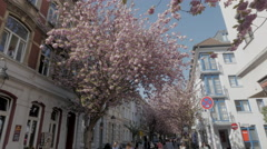 UltraHD shot of Japanese flowering cherry trees during cherry blossom time Stock Footage