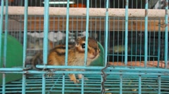 Stock Video Footage of Chipmunk in a cage, it lost freedom